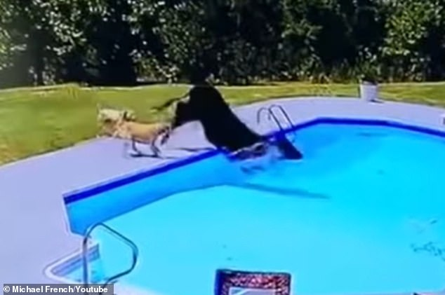 s Two dogs are seen trying to herd a cow, but they end up chasing it into the pool